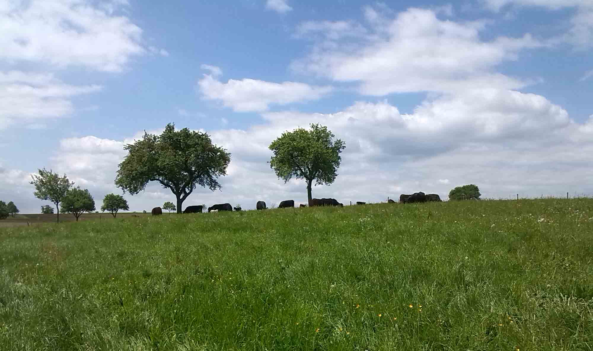 Gras-fed Beef vom Aberdeen Angus am 9. September 2017